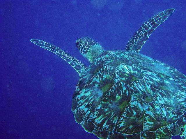 Green Sea Turtle. (Photo by David M. Hogan)