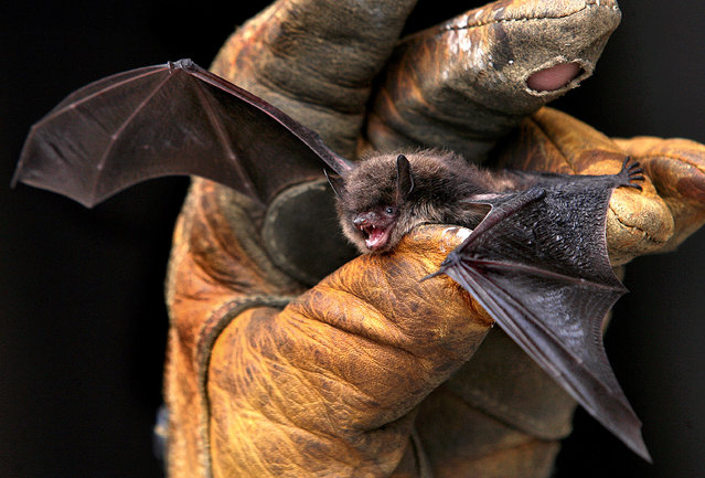 In this September 17, 2010 file photo a little brown bat is photographed in La Crosse Wis. Researchers for the first time found that little brown bats appear to be showing resistance to white-nose syndrome, which has killed millions of bats across North America. (Photo by Peter Thomson/La Crosse Tribune via AP Photo)