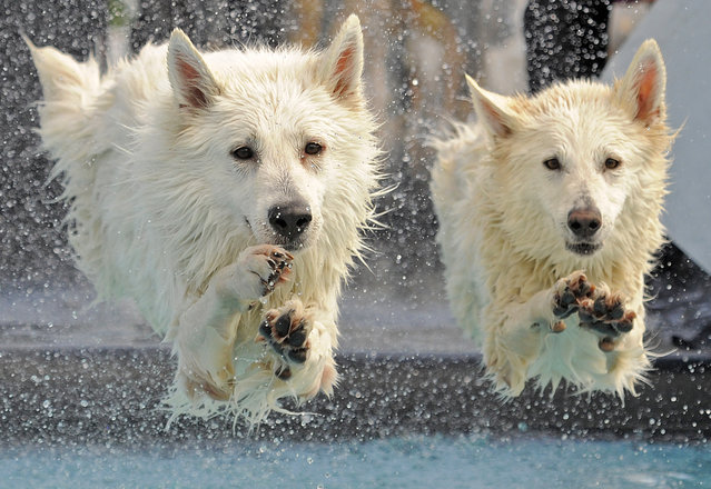 """White Swiss  Shepherd dogs  """"Kenai"""", left, and """"Yasu"""", right, jump  into the water during the dog diving competition at the International pedigree dog and purebred cat exhibition in Erfurt, central Germany, Sunday, June 16, 2013. (Photo by Jens Meyer/AP Photo)"""