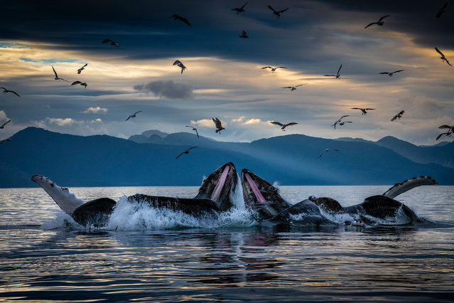 """""""Secrets of the Whales"""". Skerry's photographs celebrate the lives and culture of whales, illuminating recent research and their diverse behaviours. His latest work focuses on four key species: sperm whales, humpbacks, orca and beluga whales. Humpback whales bubble-net feeding off the coast of Alaska. They work cooperatively to feed on herring by blowing a perfect ring of bubbles underwater to form a net encircling the fish. The whales then swim up through the centre of the bubble net with their mouths open. (Photo by Brian Skerry/National Geographic Photo/Visa pour l'Image)"""