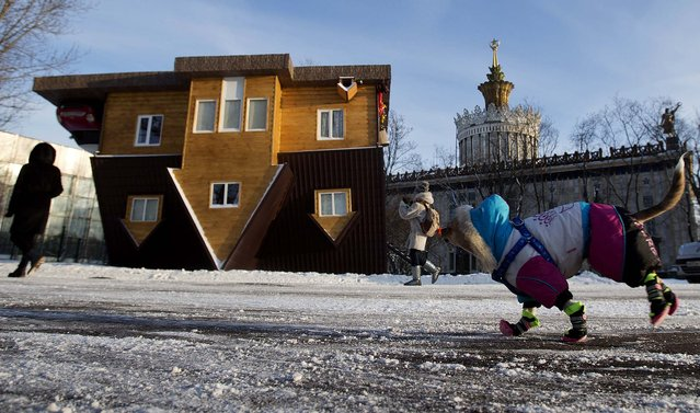 A dog clad against cold runs in front of the Upside Down House at the All-Russia Exhibition Center in Moscow, on January 17, 2014. Its creators say the interior can cause dizziness. (Photo by Pavel Golovkin/Associated Press)