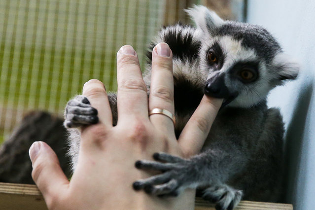 A visitor plays with a ring-tailed lemur (Lemur catta) at Zveryushki, Moscow's largest petting zoo, in Vegas Shopping and Leisure Centre at Kashirskoye Shosse Street on February 28, 2016. (Photo by Artyom Geodakyan/TASS via ZUMA Press)