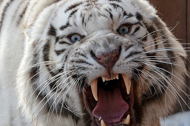 White male tiger Aron hisses in his enclosure in the privately-owned zoo by Andrzej Pabich in Boryszew, central Poland on February 1, 2014. The lion babies were born on January 28. (Photo by Janek Skarzynski/AFP Photo)