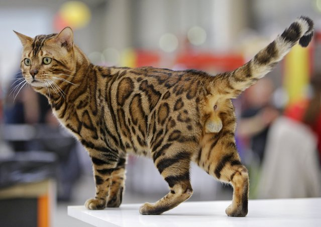 A Bengal cat is seen during the Mediterranean Winner 2016 cat show in Rome, Italy, April 3, 2016. (Photo by Max Rossi/Reuters)