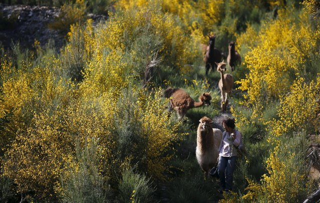 Lisa Vella-Gatt, 46, walks with her alpacas by a valley near Benfeita, Portugal May 11, 2015. Lisa came to Portugal from England in 2009 to set up Monte Frio Alpacas, a project where she breeds alpacas, which produce wool. Lisa's 14 alpacas produce about 50 kilos (110 pounds) of wool annually. (Photo by Rafael Marchante/Reuters)