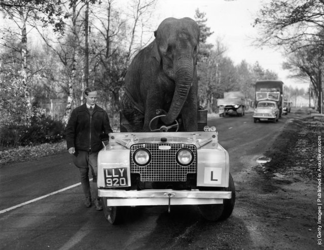 1959: Elephant from Bertram Mills circus 'drives' a Land Rover along a road during training for the Christmas Show