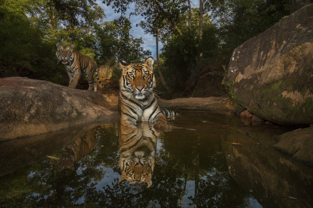 A camera trap captures 14-month-old sibling cubs cooling off in a watering hole in Bandhavgarh National Park, India. (Photo by Steve Winter/National Geographic)