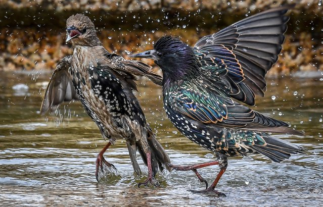Two starlings play in a fountain at Moscow's Manezhnaya Square, Russia on August 7, 2019. (Photo by Yuri Kadobnov/AFP Photo)