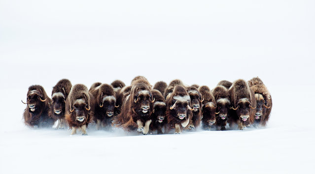 The Stampede, Victoria Island, Canada. Muskoxen stampede over frozen tundra, unusual behaviour for these Arctic animals unless a pack of wolves is chasing them. The more common reaction of muskoxen is to face a predator in a line. If attacked by wolves, the group forms a compact circle, all facing out, with calves in the centre. What the wolves want to do is to spook the muskoxen and make them run, knowing that the weaker animals can be picked off by the pack. (Photo by Eric Pierre/Unforgettable Behaviour/NHM)