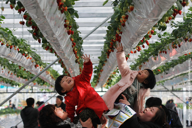 Two girls reach for fresh strawberries at the 7th International Strawberry Symposium in Beijing