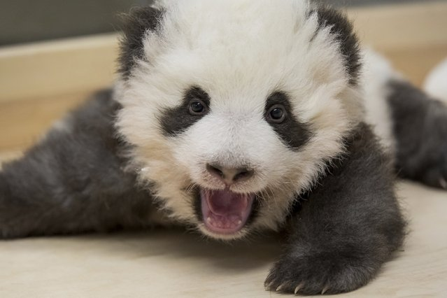 This image provided on Thursday, November 28, 2019 by the Zoo Berlin shows one of the two Panda cubs in the Zoo in Berlin, Germany. China's permanent loan Pandas Meng Meng and Jiao Qing are the parents of the two cubs that were born on Aug. 31, 2019 at the Zoo in Berlin. (Photo by 2019 Zoo Berlin via AP Photo)