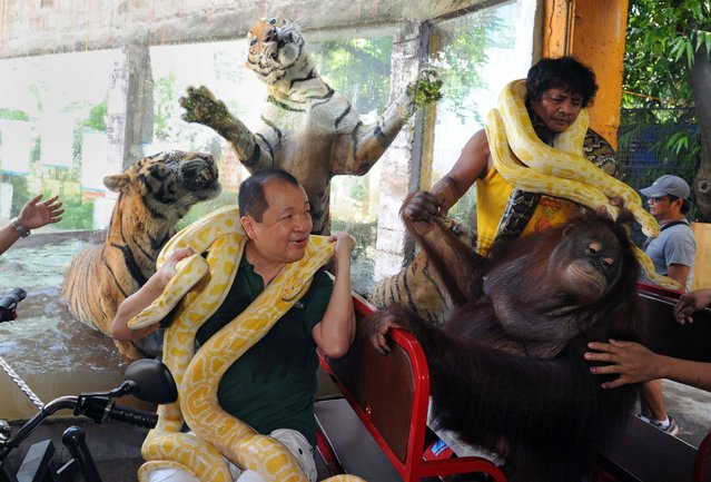 """Manny Tangco (L), owner of Manila's Malabon Zoo, poses while sitting on an electric vehicle with the resident zoo orangutan (R), Bengal tigers and an albino python to promote the three-wheeled vehicles called """"e-trikes"""" on July 12 ,2014. The Philippine government, backed by the Asian Development Bank, is promoting the vehicle for Manila's secondary roads to replace petrol-burning tricycles that contribute to air pollution. (Photo by Jay Directo/AFP Photo)"""