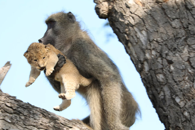 In this photo taken Saturday, February 1, 2020, a male baboon carries a lion cub in a tree in the Kruger National Park, South Africa. The baboon took the little cub into the tree and preened it as if it were his own, said safari ranger Kurt Schultz who said in 20-years he had never seen such behaviour. The fate of the lion cub is unknown. (Photo by Kurt Schultz via AP Photo)