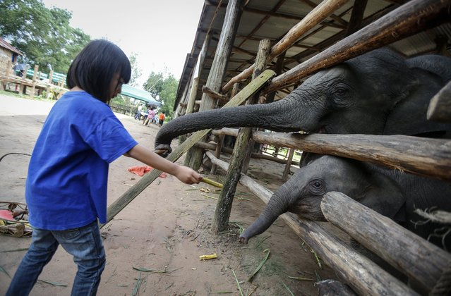 Baby elephants tries to reach a sugarcane at Winga Baw Elephant Conservation Camp during the ceremony to mark World Elephant Day at Bago Region, Myanmar, 12 August 2017. (Photo by Lynn Bo Bo/EPA/EFE)