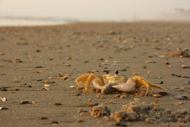 """""""Early Morning Crab with Breakfast"""". Linda Berneburg, 47, of Warrenton, Va., laid in the sand to get this shot of a crab eating on the beach in Corolla, N.C., in May. (Photo by Linda Berneburg)"""