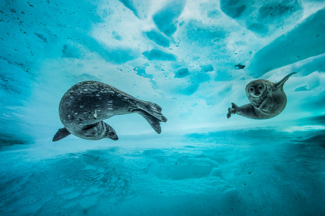 Swim gym by Laurent Ballesta (France). A mother introduces her pup to the icy water in east Antarctica in early spring. The pair slide effortlessly between the sheets of the frozen water. Finalist 2017, Behaviour: Mammals. (Photo by Laurent Ballesta/2017 Wildlife Photographer of the Year)