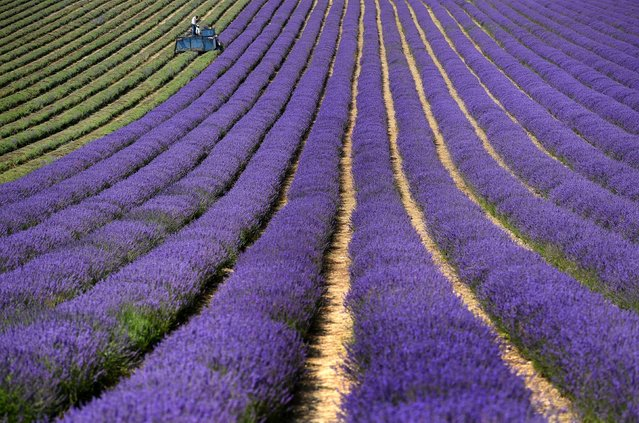 A tractor makes it's way up a row of lavender as it is harvested on the Lordington Lavender farm in West Sussex southeast England  Wednesday July 20, 2016. (Photo by Andrew Matthews/PA Wire via AP Photo)