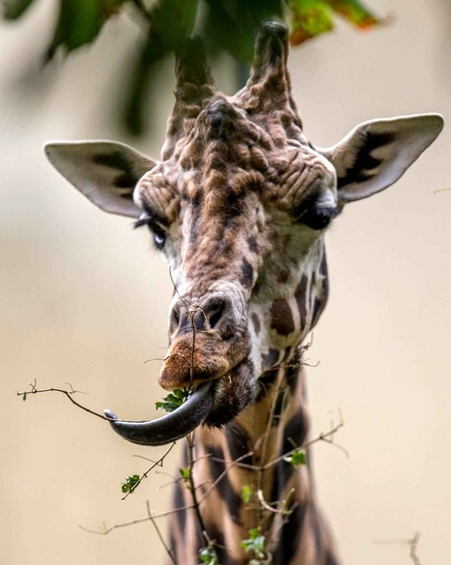 A giraffe munches on a bush at the end of the visitors hours at Schoenbrunn Zoo in Vienna on August 27, 2014. (Photo by Joe Klamar/AFP Photo)
