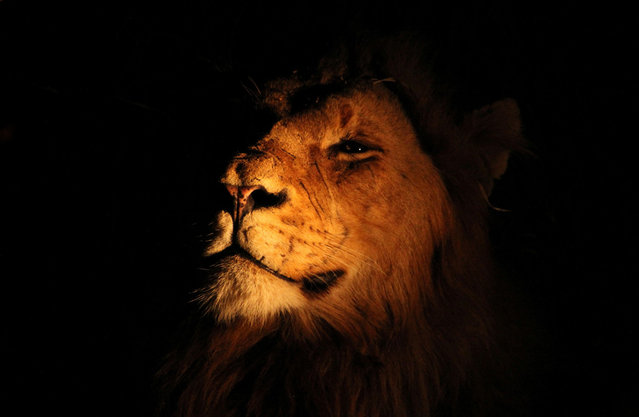 King: Spotted this male lion while on safari in Kruger National Park in South Africa. His disdain for the light clearly shows his imperiousness for those around him. (Photo by Michaela May/National Geographic Photo Contest