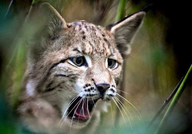 A circa six weeks old lynx is seen at the Schorfheide wild animal park in Gross Schoenebeck, eastern Germany, on September 8, 2014. (Photo by Patrick Pleul/AFP Photo/DPA)