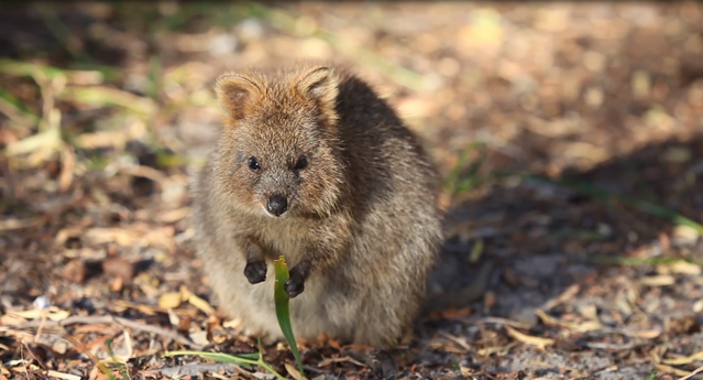 Quokka The Happiest Animal in the World