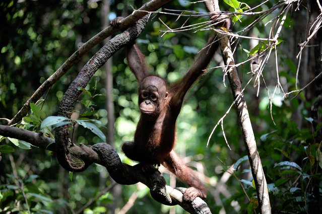 """This picture taken on August 4, 2016 shows an orphan orangutan baby hanging in a tree whilst attending """"jungle school"""" at the International Animal Rescue centre outside the city of Ketapang in West Kalimantan. (Photo by Bay Ismoyo/AFP Photo)"""