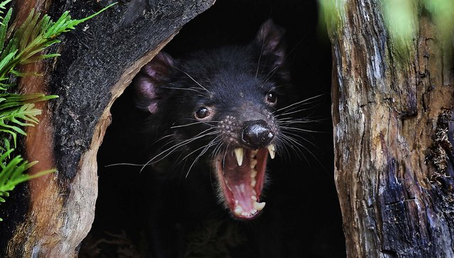 Big John the Tasmanian devil growls from the confines of his new tree house as he makes his first appearance at the Wild Life Sydney Zoo after arriving in his new home, December 21, 2012. The Tasmanian devil is the largest carnivorous marsupial in the world. (Photo by 