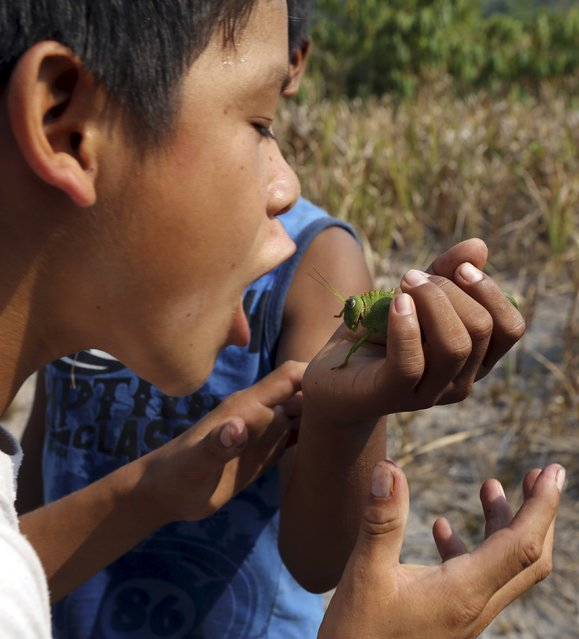 A indigenous boy from the Kamayura tribe prepares to eat a grasshopper in their village at Xingu national park in Mato Grosso, Brazil, October 3, 2015. (Photo by Paulo Whitaker/Reuters)