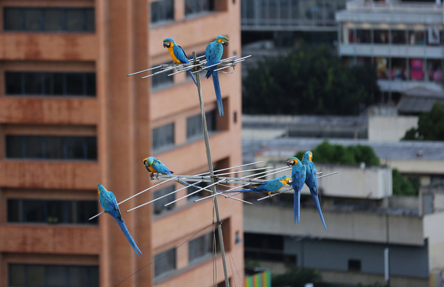 Macaws perch on an antenna in Caracas, Venezuela. The city of around 6 million people does not seem welcoming for exotic birds. But the macaws supplement the food they forage with snacks the birders leave for them. They are a common site sitting on the ledges of high-rise buildings or perched on antennas. While solid figures don't exist, the population of macaws in Caracas is estimated to be several hundred. (Photo by Ariana Cubillos/AP Photo)