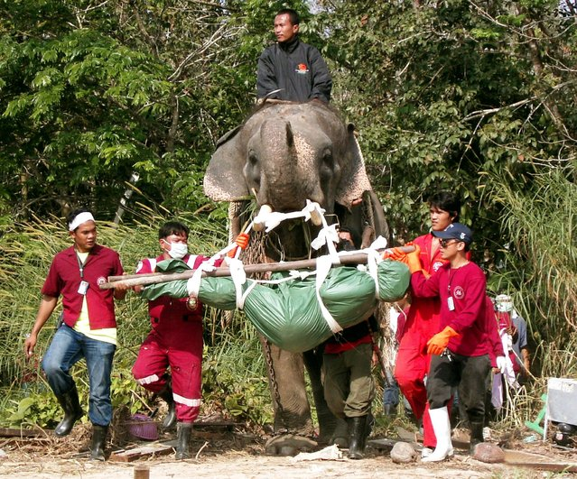 An elephant carries the body of a tsunami victim after discovering it in Takuapa district, north of the Thai resort island of Phuket, in this January 2, 2005 file photo. (Photo by Sompaht Meepan/Reuters)