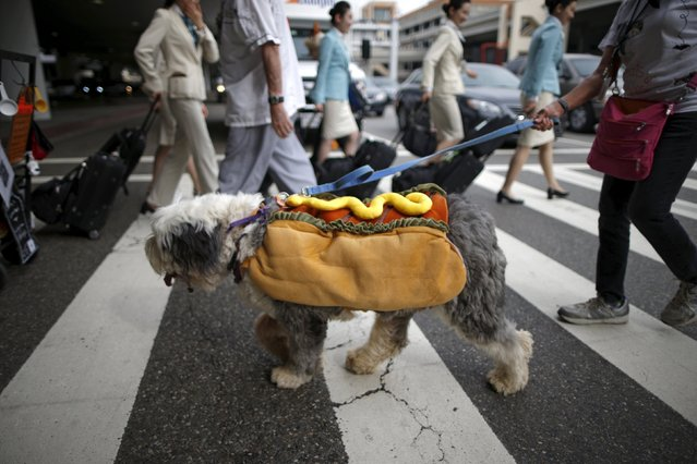 A therapy dog dressed as a hot dog arrives at LAX with other dogs and owners wearing Halloween costumes, as part of a program to de-stress passengers at the international boarding gate area of LAX airport in Los Angeles, California, United States, October 27, 2015. (Photo by Lucy Nicholson/Reuters)