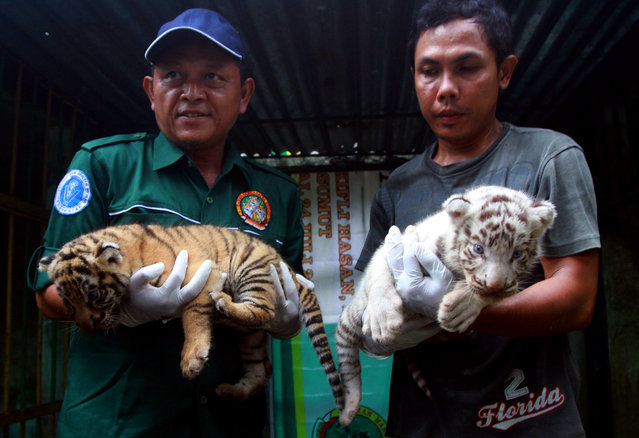Indonesian vets show two of four three-week-old Bengal tiger cubs at the zoo in Medan, North Sumatra province, Indonesia, December 1, 2014. The mother named Wesa, 8, gave birth to four Bengal tigers at the zoo on November 7. (Photo by Dedi Sahputra/EPA)