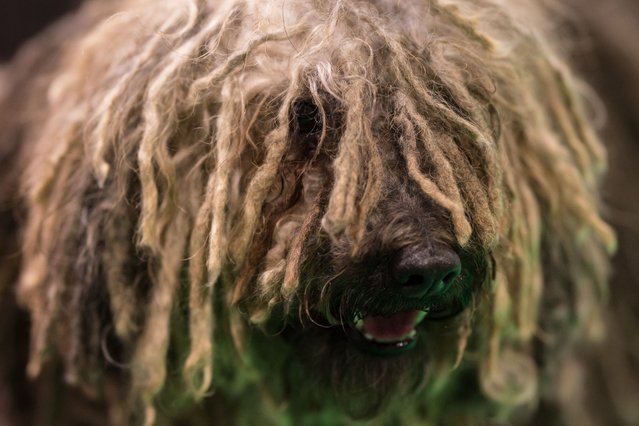 A Hungarian Puli dog is pictured on the second day of the Crufts dog show at the National Exhibition Centre in Birmingham, central England, on March 9, 2018. (Photo by Oli Scarff/AFP Photo)