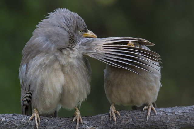 The jungle babbler is a member of the Leiothrichidae family found in the Indian subcontinent. They are gregarious birds that forage in small groups of six to ten birds, a habit that has given them the popular name of Seven Sisters or Saath bhai in Bengali, December, 2015, Bharatpur, Rajasthan. (Photo by CWPA/Barcroft Images/Comedy Wildlife Photography Awards 2016)
