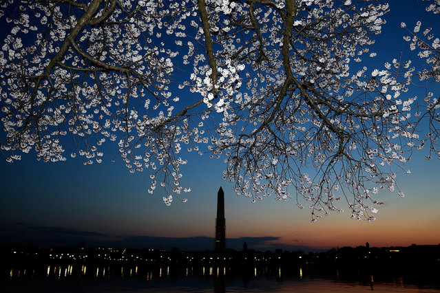 Cherry blossoms bloom on the edge of the Tidal Basin after a colder than normal March and chilly April delayed the beginning of the cherry blossom season in the nation's capital April 8, 2013 in Washington, DC. Peak bloom was originally predicted between March 26 and March 30th, with the revised prediction moving to April 6-10.  (Photo by Win McNamee)