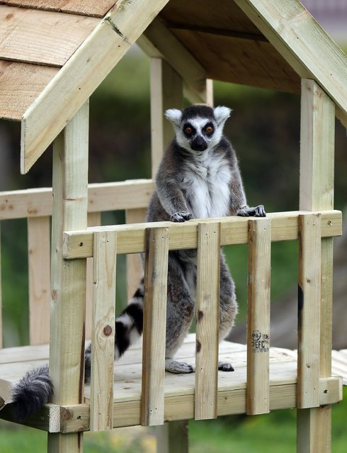 "A ring tailed Lemur gets to grips with a new slide and climbing frame installed in it's enclosure at Whipsnade Zoo in Bedfordshire, on May 22, 2013. The new installation comes as ZSL Whipsnade Zoo prepares to launch its brand new children's adventure play area ""Hullabazoo"" that has been designed around animal movement and opens to the public on Saturday. Photo by Chris Radburn/PA Wire)"