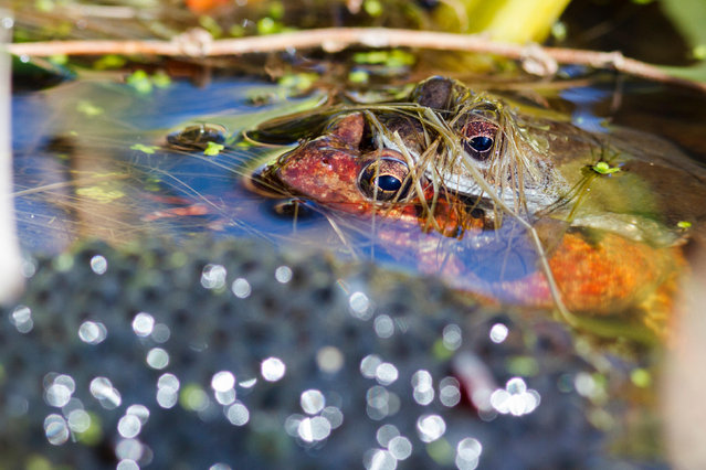 Two common frogs mating next to a pile of spawn, a sure sign that spring is under way, in Hailsham, East Sussex, UK. (Photo by Ed Brown/Alamy Stock Photo)