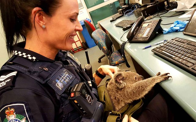 A hand out picture released by Queensland police on November 7, 2016 shows a police officer taking care of a baby koala in Brisbane Australian police made one of their more unusual finds when they uncovered a baby koala hidden in the bag of a woman they stopped in the street. (Photo by AFP Photo/Queensland Police)