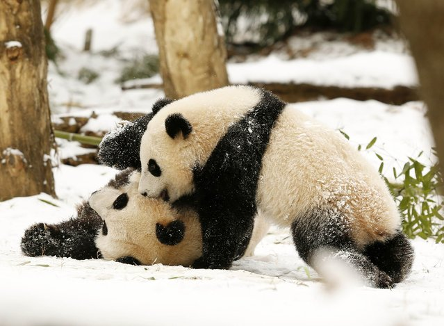 Giant Panda mom Mei Xiang (L) and her cub Bao Bao (R) wrestle in the snow at the Smithsonian National Zoo in Washington January 27, 2015. (Photo by Gary Cameron/Reuters)