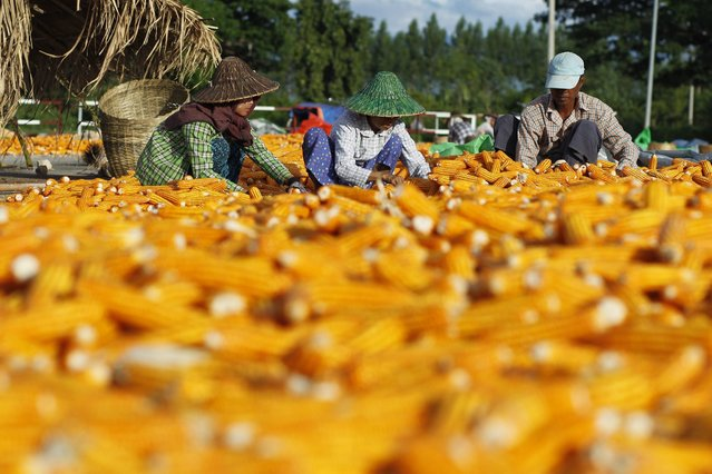 A picture made available on 17 September 2016 shows Myanmar workers preparing corn for drying in a field during the harvest in Naypyitaw, Myanmar, 16 September 2016. US President Obama announced that the USA were ready to lift economic sanctions against Myanmar during the official visit of Myanmar State Counsellor Aung San Suu Kyi in Washington, DC, USA. Suu Kyi and Obama had met on 14 September during her first visit to the US since assuming the position of State Counsellor following her party's win in the election of November 2015. (Photo by Hein Htet/EPA)