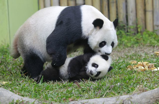 Mother giant panda Juxiao (top) picks up one of her triplets with her mouth inside their enclosure at Chimelong Safari Park in Guangzhou, Guangdong province, February 1, 2015. The triplets, which reached 6-month-old on Thursday, were the fourth set of giant panda triplets born with the help of artificial insemination procedures in China, and the birth is seen as a miracle due to the low reproduction rate of giant pandas, local media reported. (Photo by Alex Lee/Reuters)