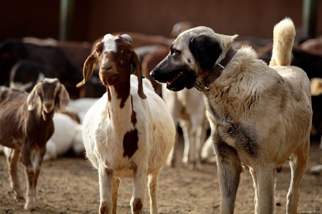 An Anatolian Shepherd dog stands with a herd of sheep and goats at the Cheetah Conservation Fund (CCF) center in Otjiwarongo, Namibia, on August 13, 2013. US doctor  Laurie Marker founded the center and started breeding Anatolian livestock dogs to promote cheetah-friendly farming after some 10,000 big cats – the current total worldwide population – were killed or moved off farms in the 1980s.  Up to 1,000 cheetahs were being killed a year, mostly by farmers who saw them as livestock killers. But the use of dogs has slashed losses for sheep and goat farmers and led to less retaliation against the vulnerable cheetah. (Photo by Jennifer Bruce/AFP Photo)