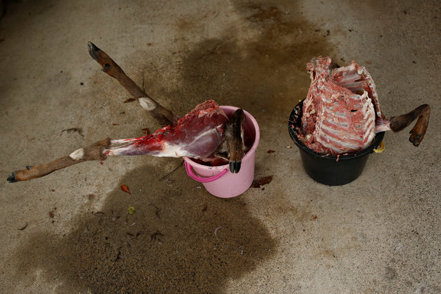 Buckets hold the remains of a deer in a shed in Oi, Fukui Prefecture, Japan, November 17, 2016. (Photo by Thomas Peter/Reuters)