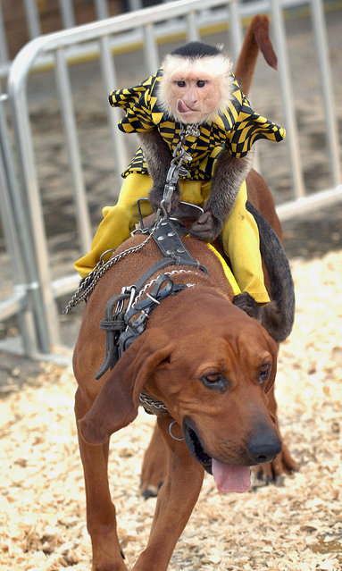 Dog-riding Monkeys race at the Alabame state fair, Birmingham AL. (Photo by Splash News and Pictures)