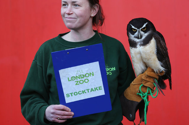 A keeper holds Elton, a spectacled owl, during ZSL London Zoo's annual stocktake of animals on January 2, 2014 in London, England. (Photo by Oli Scarff/Getty Images)