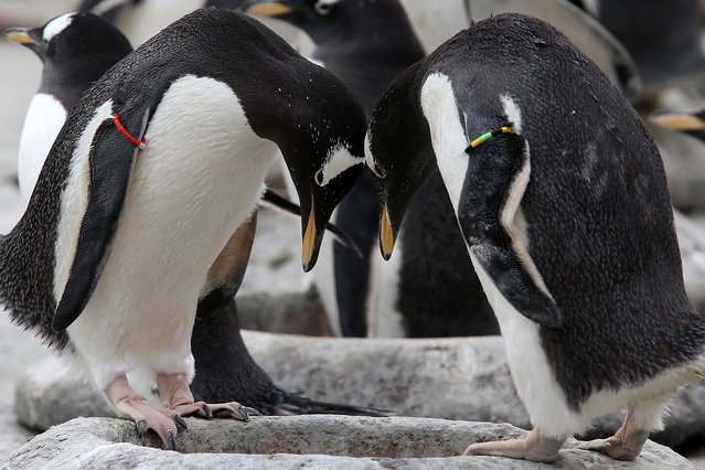 Gentoo penguins move pebbles to their nest after keepers placed them in a large heart-shape to celebrate the start of the gentoo penguin breeding season, at Penguin Rock at Edinburgh Zoo, UK on March 2, 2016. (Photo by Andrew Milligan/PA Wire via ZUMA Press)