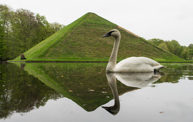 "A swan swims past the ""Seepyramide"" (Lake Pyramid) on April 28, 2015 at the Fuerst-Pueckler-Park in Branitz near Cottbus, eastern Germany. Count Hermann Ludwig Heinrich von Pueckler-Muskau (1785-1871), a German nobleman who is known for his passion for landscape gardening, is buried at the interior of the pyramid. (Photo by Patrick Pleul/AFP Photo/DPA)"