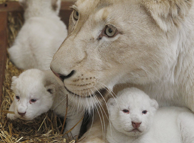 White lioness Azira lies in their cage with two of her three white cubs that were born last week in a private zoo in Borysew, in central Poland, on Tuesday, February 4, 2014. (Photo by Czarek Sokolowski/AP Photo)