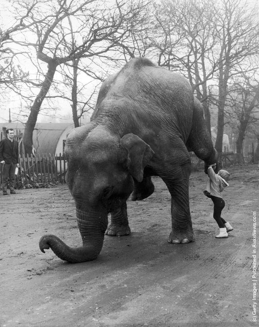 1964: Marina Frankordi, the 4-year-old daughter of bare-back rider Frankordi, helps circus elephant Sheila to practise her balancing act