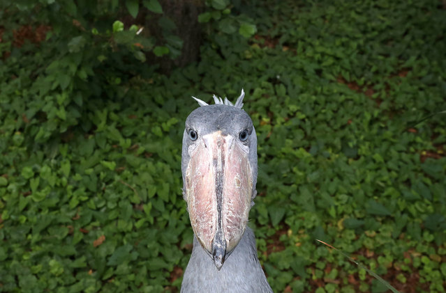 A shoebill called Yapah is seen at the Pairi Daiza wildlife park, a zoo and botanical garden in Brugelette, Belgium on August 2, 2019. (Photo by Yves Herman/Reuters)